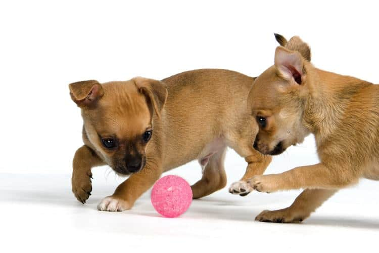 The 50 Best Toys For Puppies In 2019 Pet Life Today