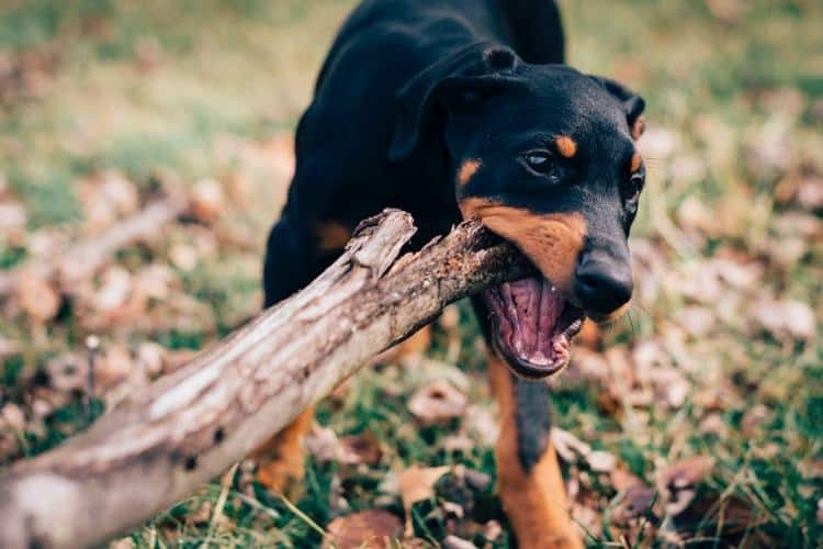 Pet Training Series: How to Train a Doberman Puppy — Pet