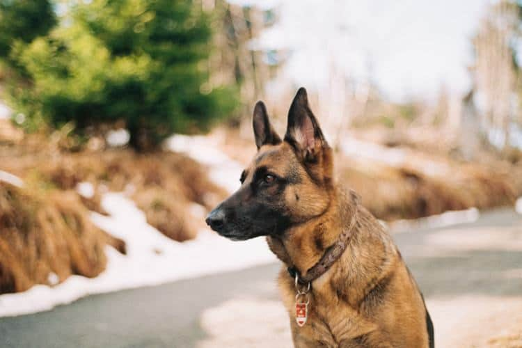 How To Train A German Shepherd Pet Life Today