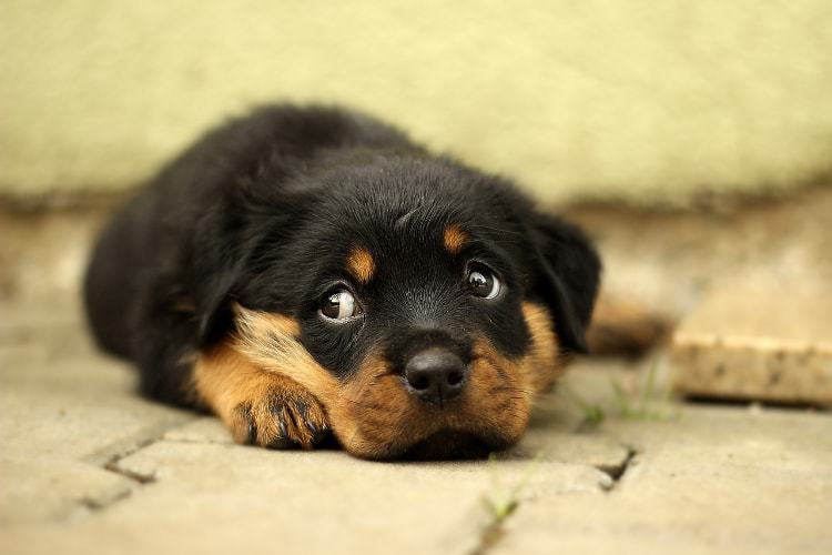 pet training series how to train a rottweiler puppy pet life today
