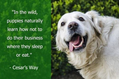 """""""In the wild, puppies naturally learn how not to do their business where they sleep or eat."""" - Cesar's Way"""
