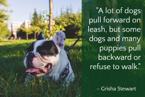 """""""A lot of dogs pull forward on leash, but some dogs and many puppies pull backward or refuse to walk."""" - Grisha Stewart"""