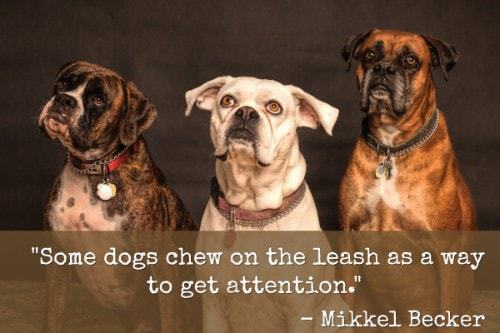 """""""Some dogs chew on the leash as a way to get attention."""" - Mikkel Becker"""