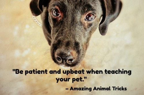 """""""Be patient and upbeat when teaching your pet."""" - Amazing Animal Tricks"""