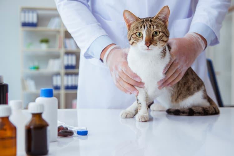 How Do I Treat Ringworm in My Cat? - Pet Life Today