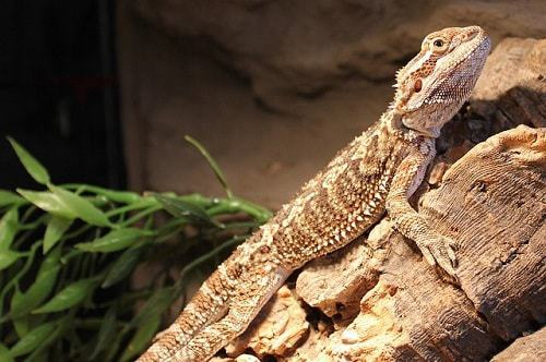 How to Tell if Your Bearded Dragon is Happy and Healthy