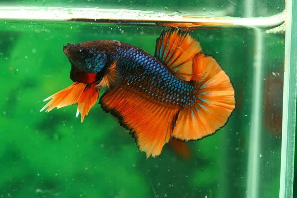how to take care of a betta fish pet life today
