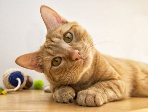 What is the Best Flea Treatment for Cats?