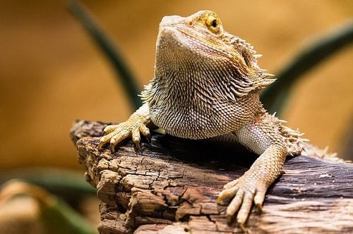 How to Clean Your Bearded Dragon's Tank