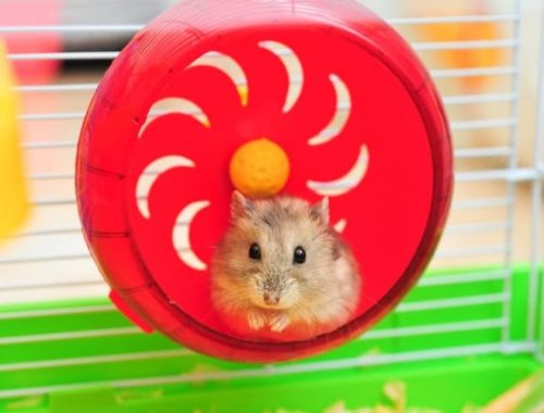 What Do Hamsters Need?