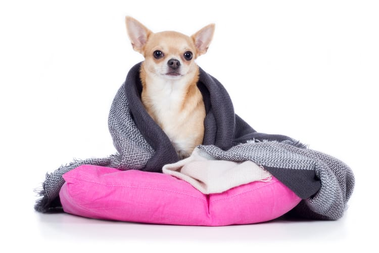 Shivering dog with a blanket