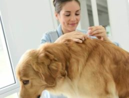 Vet applying tick medication on dog