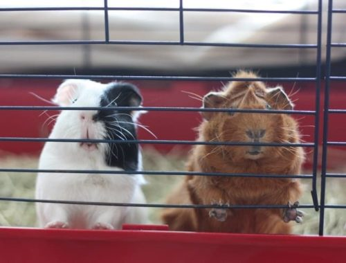 The Best Guinea Pig Cages