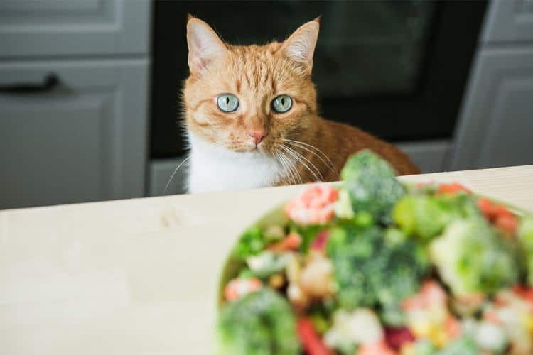 Cat staring at a salad