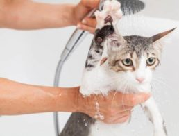 Giving a cat a bath