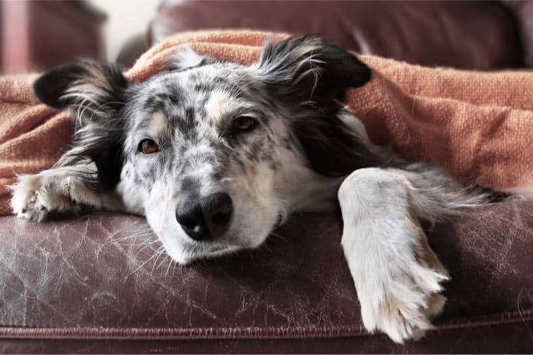 Tired and sick dog