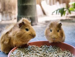 The Best Guinea Pig Food