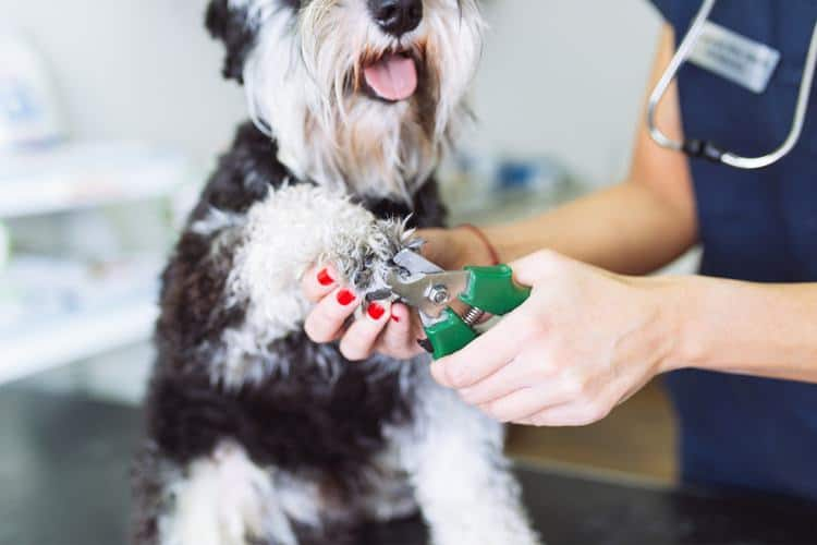 Vet trimming a dog's nails