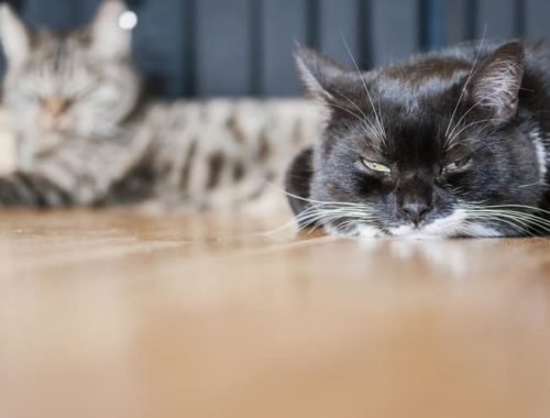 The Best Cat Pheromone Diffusers