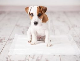 Puppy sitting on a puppy training pad for potty training