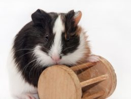 The Best Guinea Pig Toys