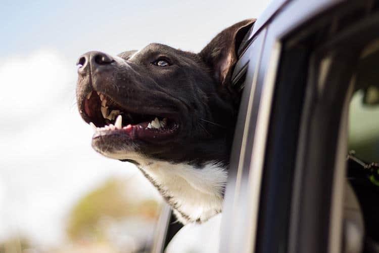 Happy Dog with Nice Teeth