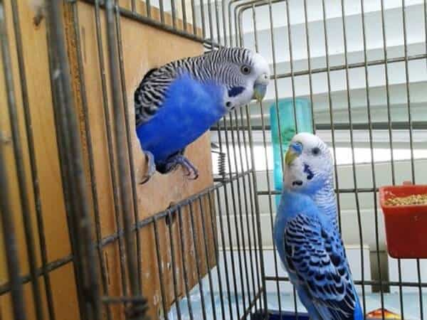 How to Clean Your Parakeet's Cage