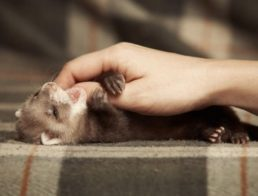 How to Take Care of a Ferret