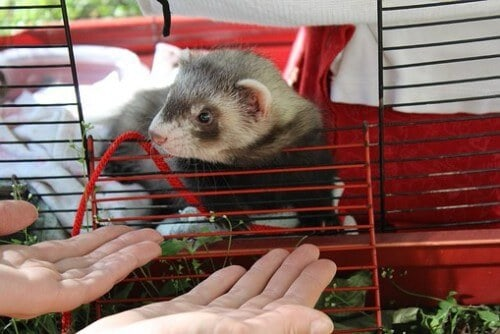 How to Clean Your Ferret's Cage
