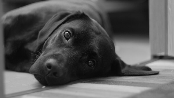 How to Set Up for Your Labrador Retriever