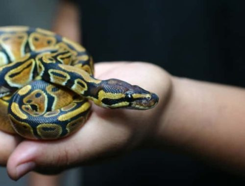 How to Take Care of a Ball Python
