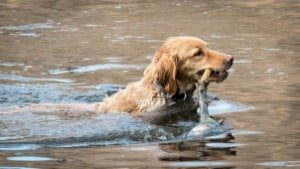 How to Wash Your Golden Retriever