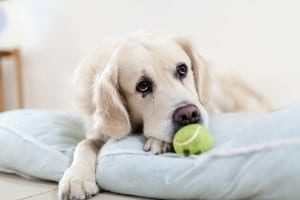How to Clean Your Golden Retriever's Bed