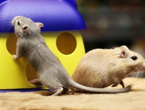 How to Take Care of a Gerbil