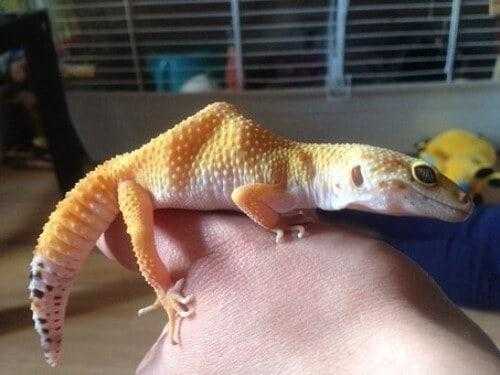 How to Pick Up Your Leopard Gecko