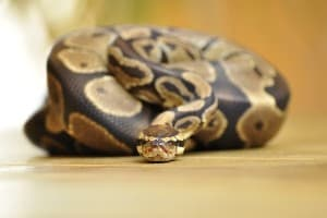 How to Know If Your Ball Python Is Happy and Healthy