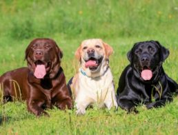 How to Take Care of a Lab