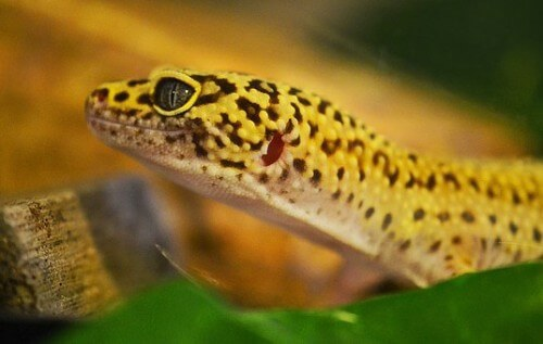 How to Set Up for Your Leopard Gecko