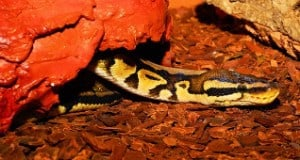 How to Set Up for Your Ball Python