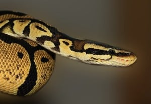 How to Hold Your Ball Python