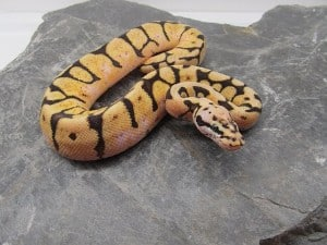 How to Clean Your Ball Python
