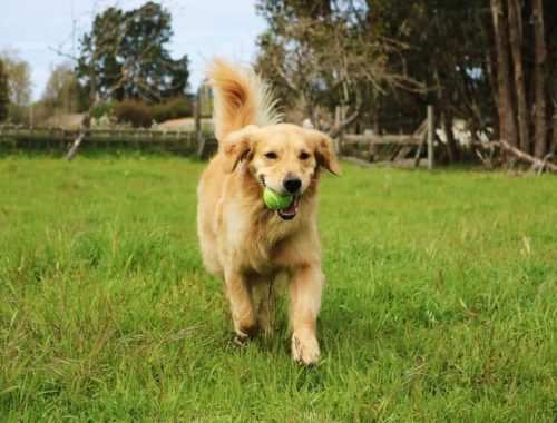 How to Take Care of a Golden Retriever