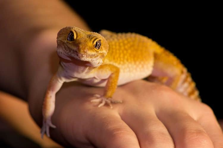 How to Take Care of a Leopard Gecko