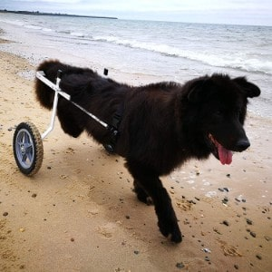 K9 Carts The Original Large Dog Wheelchair
