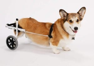 K9 Carts The Original Wheelchair for Short Dogs