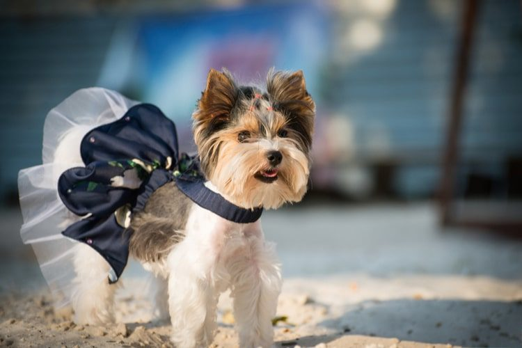 1e1b3ed9dc6d The 25 Best Small Dog Dresses of 2019 - Pet Life Today