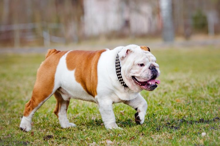 The Best Spiked Dog Collars