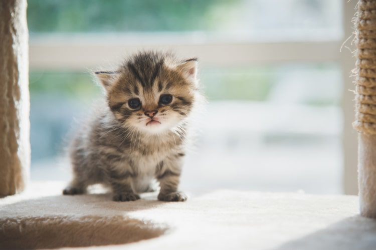 What Do You Need for Your New Kitten? - Pet Life Today