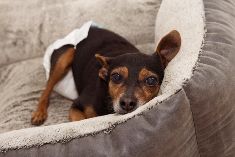 Los mejores pañales para perros