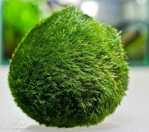 Aquarium Plants Discounts Marimo Moss Ball